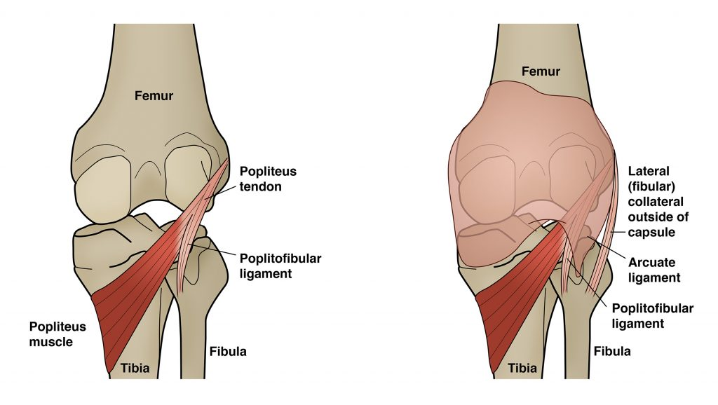 This image displays a rear-facing cross-section of the knee joint. The popliteus muscle is showcased in its natural setting.